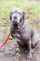 "Adult Female Dog - Neapolitan Mastiff: ""Mia"""