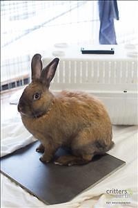 "Young Male Rabbit - Dutch: ""Apollo*watch My Video*"""