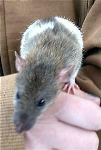 """Baby Male Small & Furry - Rat: """"Butter"""""""
