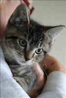 "Baby Male Cat - Domestic Short Hair: ""Francis 3"""