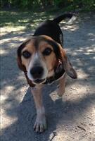 "Adult Male Dog - Beagle: ""Andy"""
