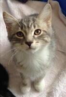 """Baby Male Cat - Domestic Short Hair: """"Willy"""""""
