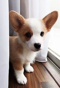 Wanted corgi pup