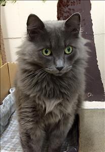 "Adult Female Cat - Domestic Medium Hair: ""Scarlette"""