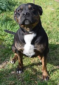 Staffy Female 3 yrs CAN YOU HELP HER? URGENT NEED OF HOME Campbelltown Campbelltown Area Preview
