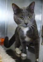 """Adult Male Cat - Domestic Short Hair: """"C - 18 Sterling"""""""