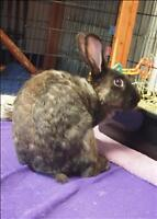 "Young Female Rabbit - American: ""Pixie"""
