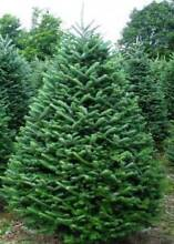 Fresh 'A' Grade Christmas Trees! (free metro delivery) Adelaide CBD Adelaide City Preview