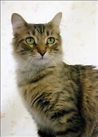 """Young Female Cat - Domestic Medium Hair: """"Little One"""""""