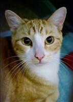 """Young Male Cat - Domestic Short Hair: """"Jerry"""""""
