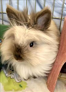 "Young Female Rabbit - Lionhead: ""Waffles"""