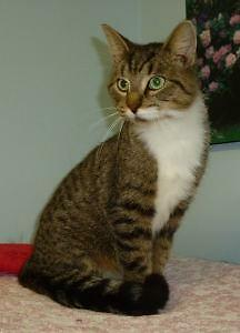 """Adult Male Cat - Tabby-Domestic Short Hair: """"C - 133 Lincoln"""""""