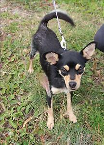 """Young Female Dog - Chihuahua: """"Belle"""""""