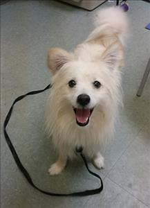 "Young Male Dog - American Eskimo Dog: ""Rocko"""