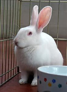 """Young Female Rabbit - New Zealand: """"Snow"""""""