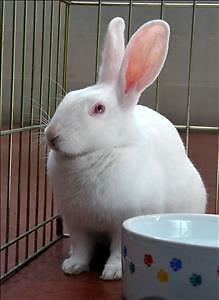 "Young Female Rabbit - New Zealand: ""Snow"""