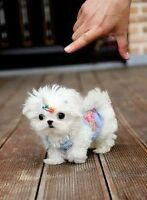 Teacup, tiny , small puppy