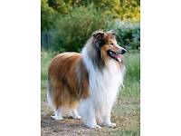 Looking rough collie female