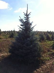 TREES FOR SALE COLORADO BABY BLUE SPRUCE
