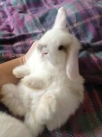Holland lop bunny (sold)