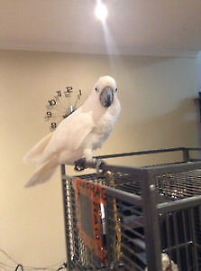 Looking for unwanted macaw and umbrella Cockatoo females
