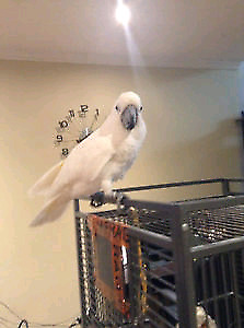 13 years old male umbrella cockatoo need to rehome talks alot