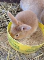 Creme Dargent Rabbits