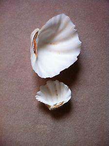 Shells - sea shells London Ontario image 1