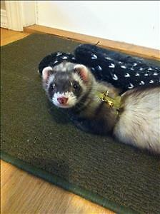 """Young Female Small & Furry - Ferret: """"Nora"""""""