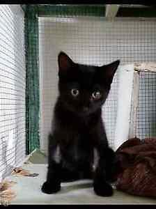 "Baby Male Cat - Domestic Short Hair-black: ""Jack"""