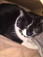 "Adult Male Cat - Domestic Short Hair: ""Tux"""