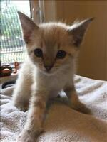 """Baby Male Cat - Siamese-Domestic Short Hair: """"Cotton Candy"""""""