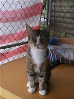 "Adult Male Cat - Domestic Short Hair: ""Trax"""