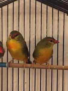 Orange Crest Wax Beak Finches