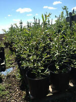 Acute Willow trees potted