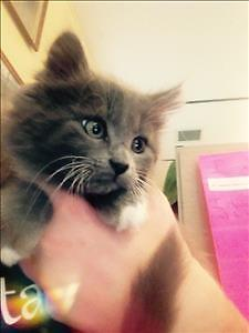 "Baby Female Cat - Domestic Long Hair: ""Jasper"""