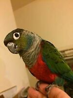 ♥☆♥ Baby Crimson Bellied Conure with Cage and Food ♥☆♥
