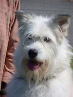 Husky croisé Terrier recherche nouvelle famille ! (Sophie)