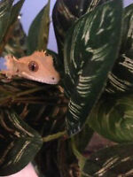Female Crested Gecko (tank & accessories available)