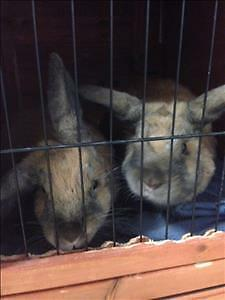 """Young Male Rabbit - Dutch: """"Benjamin *bonded To Flopsy"""""""