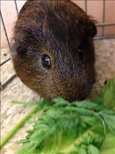"""Young Male Small & Furry - Guinea Pig: """"Cuddles"""""""
