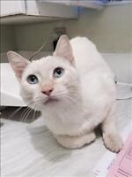 """Adult Male Cat - Siamese-Domestic Short Hair: """"Cruise"""""""
