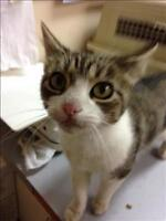 "Young Female Cat - Domestic Short Hair: ""Peaches"""