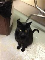 "Adult Male Cat - Domestic Short Hair: ""Chaplin"""