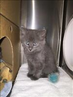 "Baby Male Cat - Domestic Short Hair: ""Dollar"""