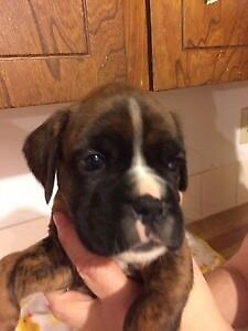 Looking for a boxer puppy!