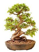Bonsai Hainbuche