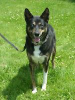 Husky croisé Labrador recherche nouvelle famille ! (Sally)