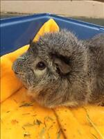 """Young Male Small & Furry - Guinea Pig: """"Grayson"""""""