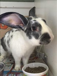 "Young Male Rabbit - Flemish Giant: ""Cobalt"""